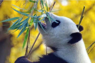 Панды из канадского зоопарка вернулись в Китай раньше срока из-за коронавируса