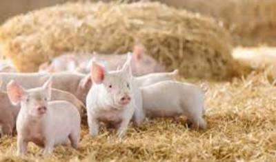 Вокруг очага чумы в Пермском крае уничтожат все поголовье свиней