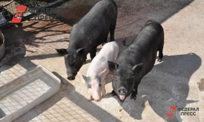 Закрытый военный городок на Урале поразила чума свиней